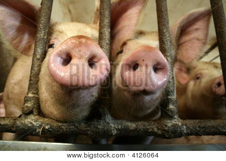 Pigs Noses