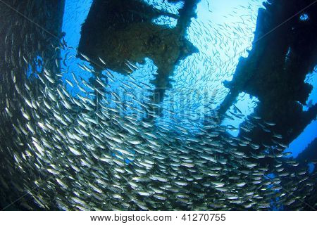 Shoal of Sardine f/sh in underwater shipwreck