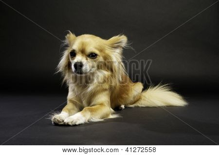 Chihuahua Laid Down On A Black Background