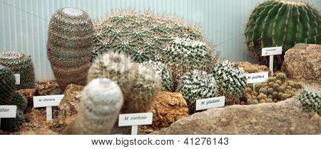 Cactus, orangery