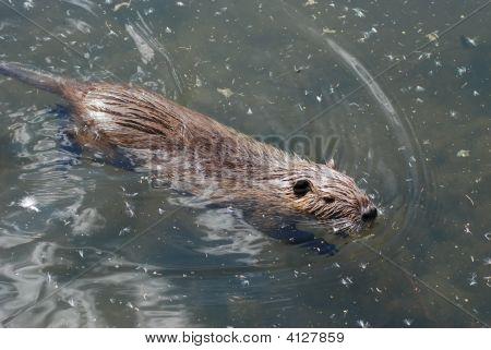 Swimming Nutria