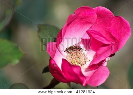 Insect Pollinating inside Dark Pink Knockout Rose
