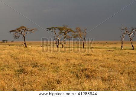 Serengeti Acacia Trees Set Against Incoming Storm
