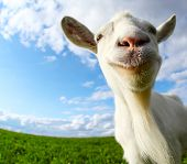 Funny goat's portrait on a green sunny meadow background