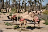 Camels Waiting For Tourists In Marrakech poster
