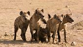 pic of hyenas  - Pack of hyenas in Amboseli National Park Kenya - JPG