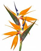 pic of bird paradise  - Bird of Paradise strelitzia flowers in full bloom for card or background Isolated on white - JPG