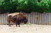 foto of aurochs  - Big Bison Is Standing Near The Wooden Fence - JPG
