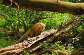 picture of coatimundi  - Ring - JPG