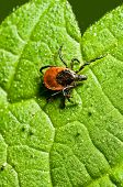 stock photo of ixodes  - Castor bean tick on the leaf - JPG