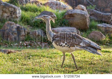 Kori bird