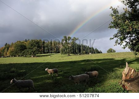 Rainbow Arcs Into A Countryside Scene As Sheep Hurry By