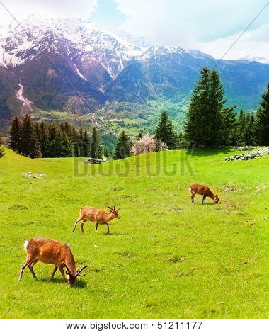 Herd Of Deer In The Mountains