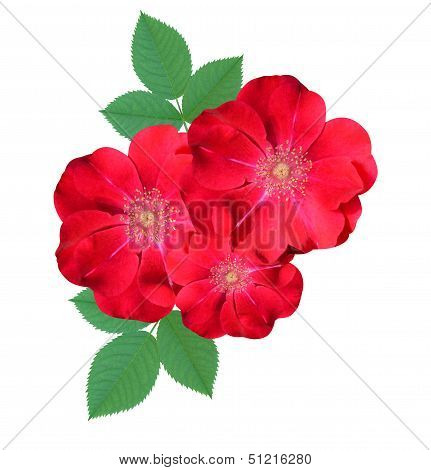 briar flowers isolated