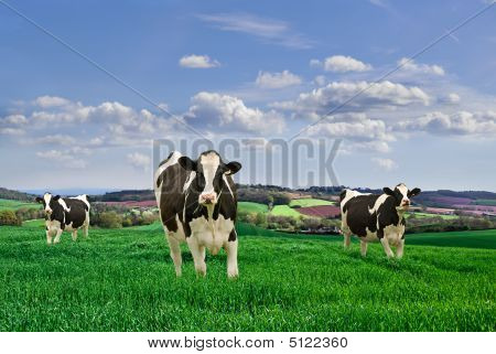 Friesian Milking Cows