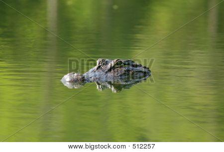 Alligator 1