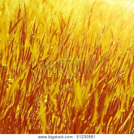 Abstract golden grass background, dry autumnal plants, natural backdrop, agricultural nature, harvest season, autumn concept