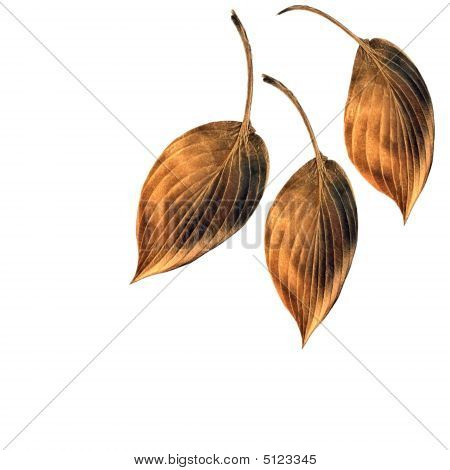 Burnished Copper Hosta  Leaves