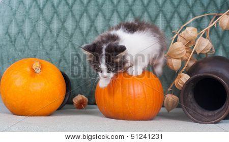 Little Halloween kitten with pumpkins