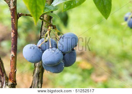 Bog whortleberry (Vaccinium uliginosum) cluster.