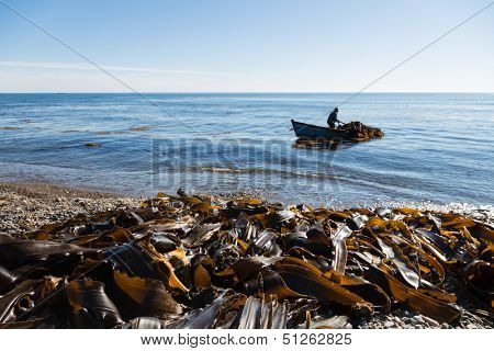 Harvesting of seaweed kelp from a boat out to sea. Russia. Japan sea.