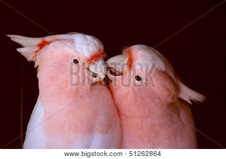 Pink Cockatoo