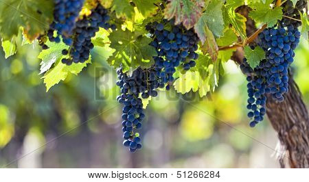 Red Grapes In Sunlight