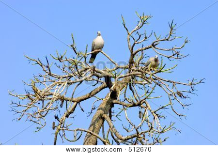 Two Wood Pidgeons In A Sunny Bare Tree