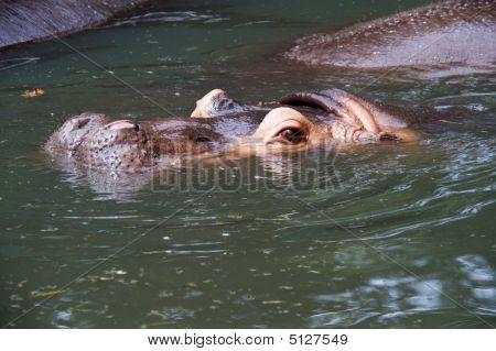Submerged Nile Hippopotamus
