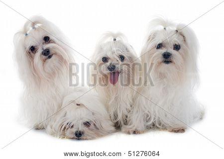 Maletese Dogs