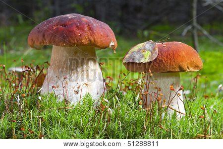 Porcini mushroom (Boletus edulis)