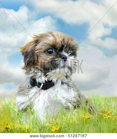 Shih tzu puppy sitting on grass