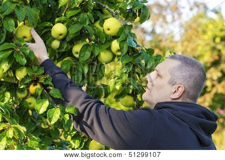 Man picking apples in garden