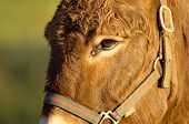 stock photo of horses ass  - Close portrait of a brown ass and halter under a warm light - JPG