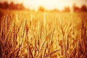 Golden ripe wheat field, sunny day, soft focus, agricultural landscape, growing plant, cultivate cro