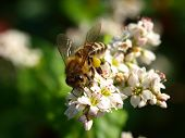 foto of buckwheat  - Honey bee gathering pollen on buckwheat close-up