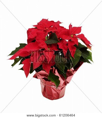 potted poinsettia with pink foil on white background