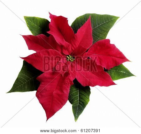 poinsettia flower on white