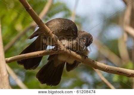 Brown Babblers (turdoides Plebejus) Allopreening