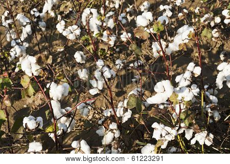 Cotton Farm