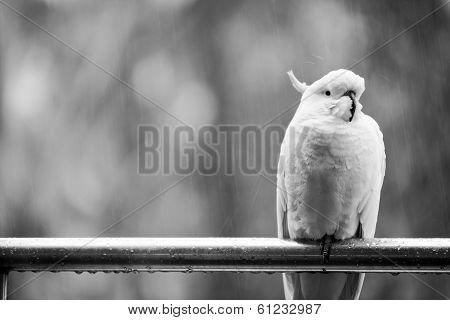 Cockatoo In Rain