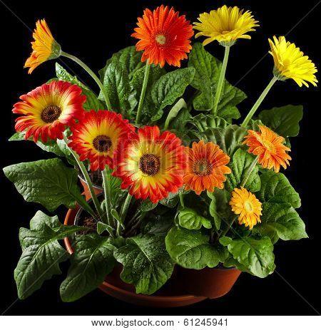 Gerbera flowers in flowerpots drop on black background