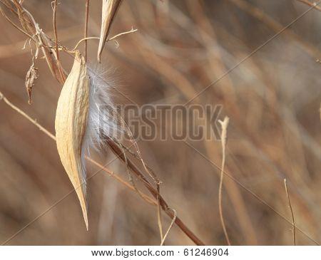 Honeyvine Weed Pod