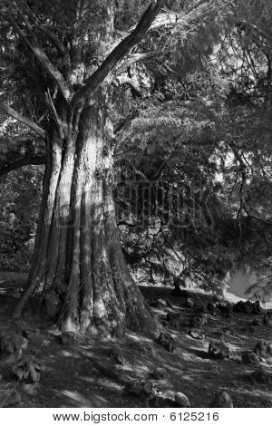Sequoia / giant redwood evergreen cypress tree