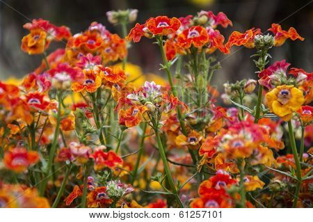 Nemsia Flowers