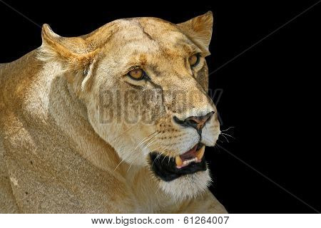 Lion Close Up.