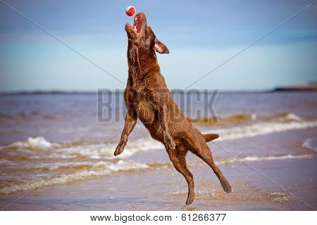 dog jumping up to catch a ball