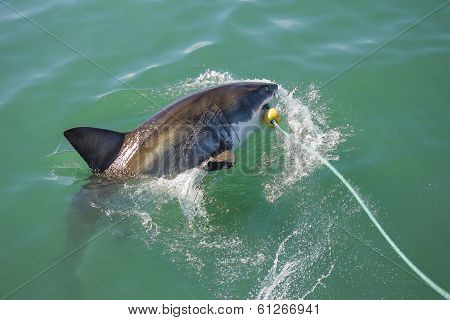 Great White Shark Attacking Decoy 5