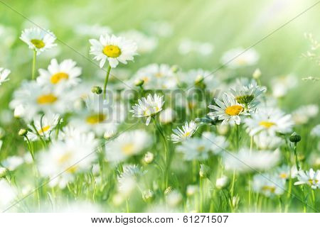 Spring daisy - meadow full of flowers