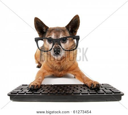 a cute chihuahua mix wearing glasses with his paws on a computer